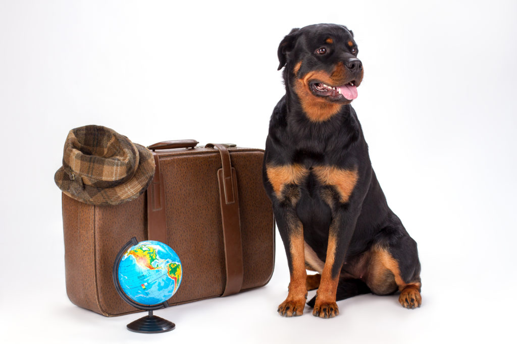Portrait of rottweiler dog and travelling accessories. Young purebred rottweiler dog sitting with travel bag, hat and globe.