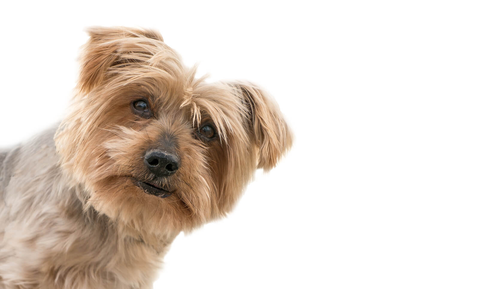 a terrier looking with it's head cocked slightly to the side