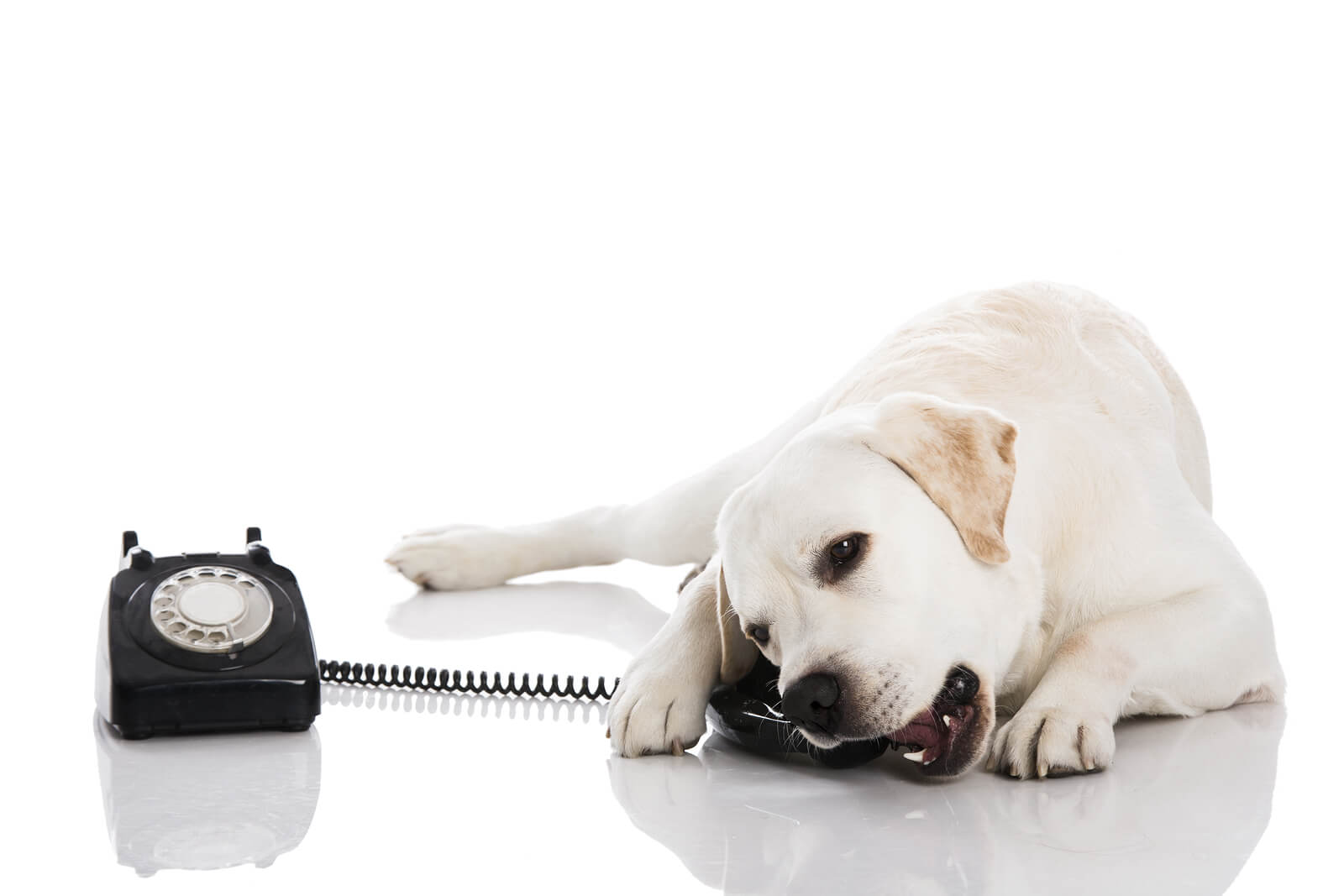 white dog biting a black telephone