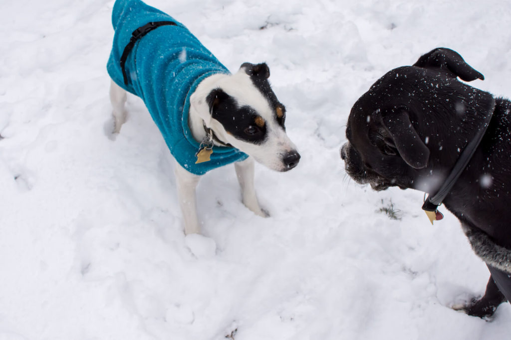 Dogs playing in the snow. one dog is wearing a sweater.