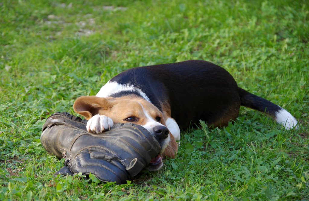 beagle chewing a shoe laying on green grass
