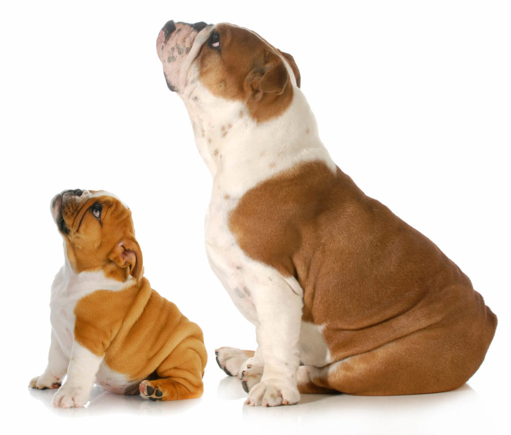 puppy and adult bulldogs sitting next to each other looking up