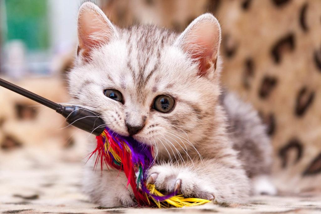 kitten biting a cat toy