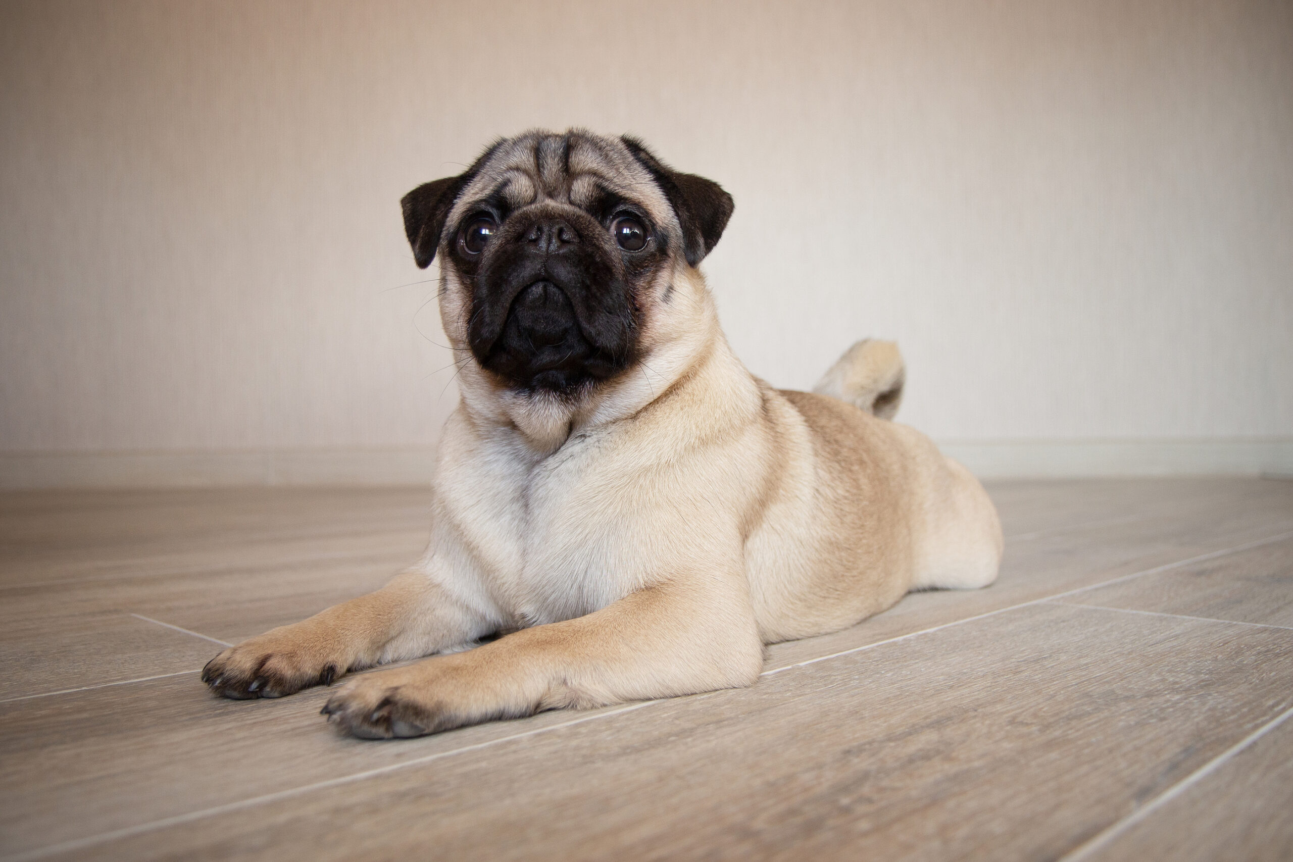 pug sitting on a floor