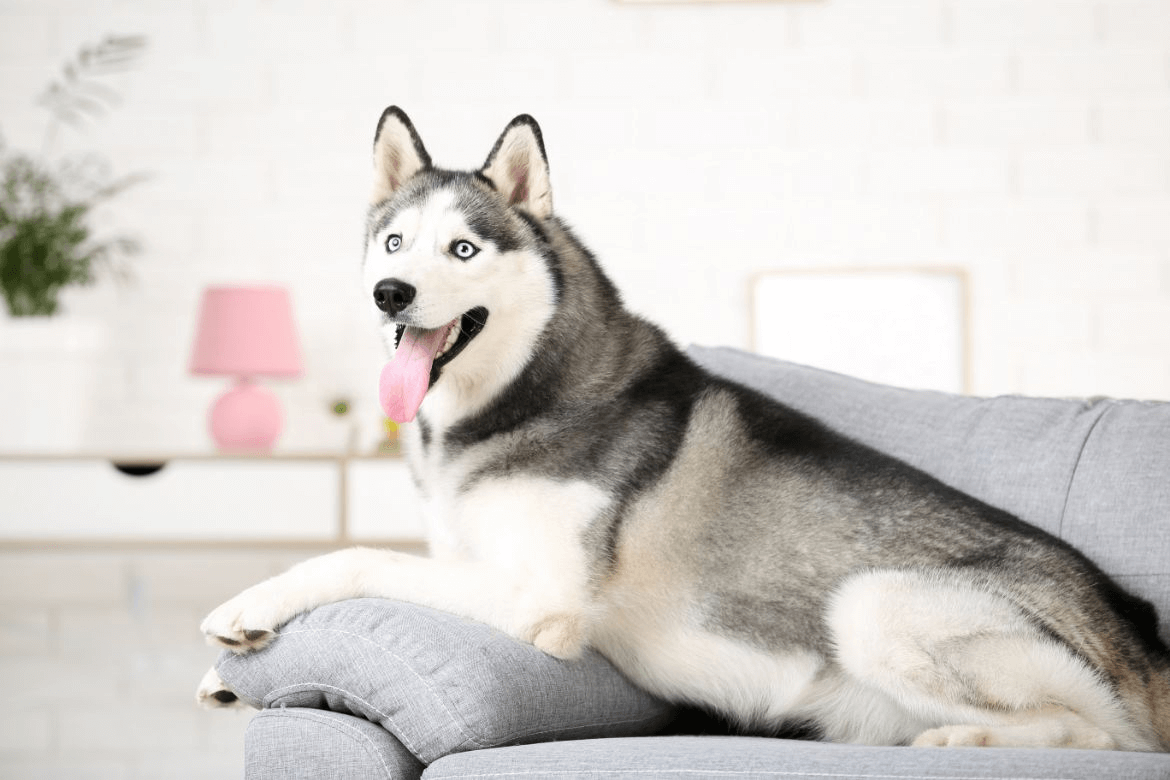 a husky sitting on a couch
