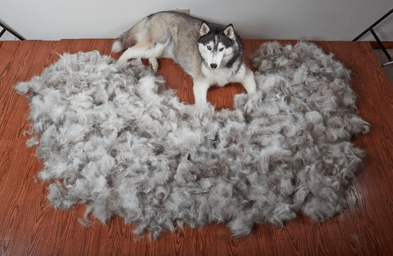 husky surrounded by loose fur