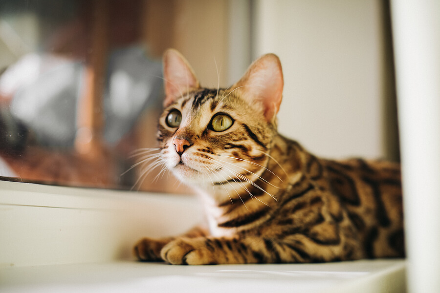 bengal cat sitting next to a window